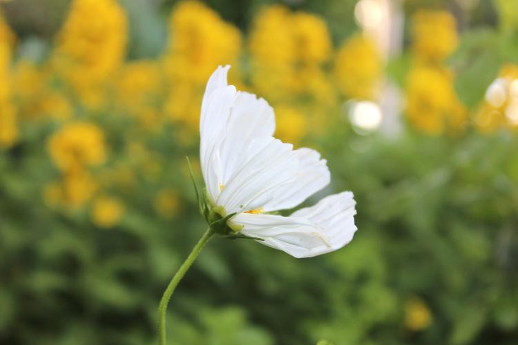 daisyside