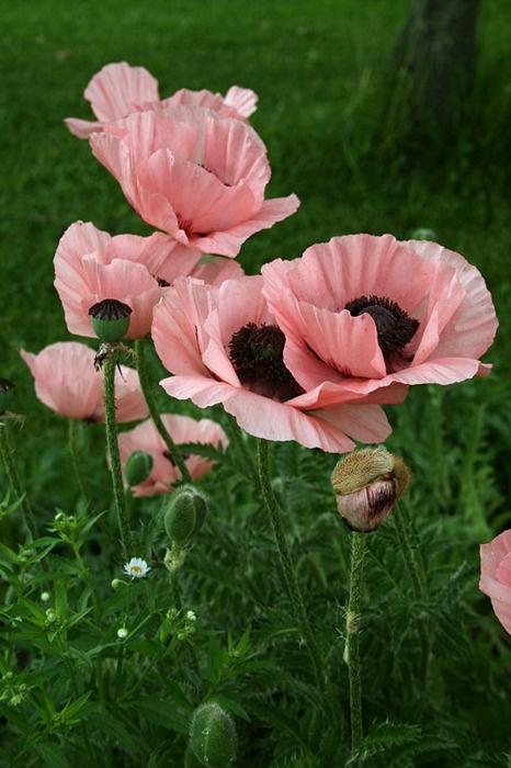 pink poppies.jpg