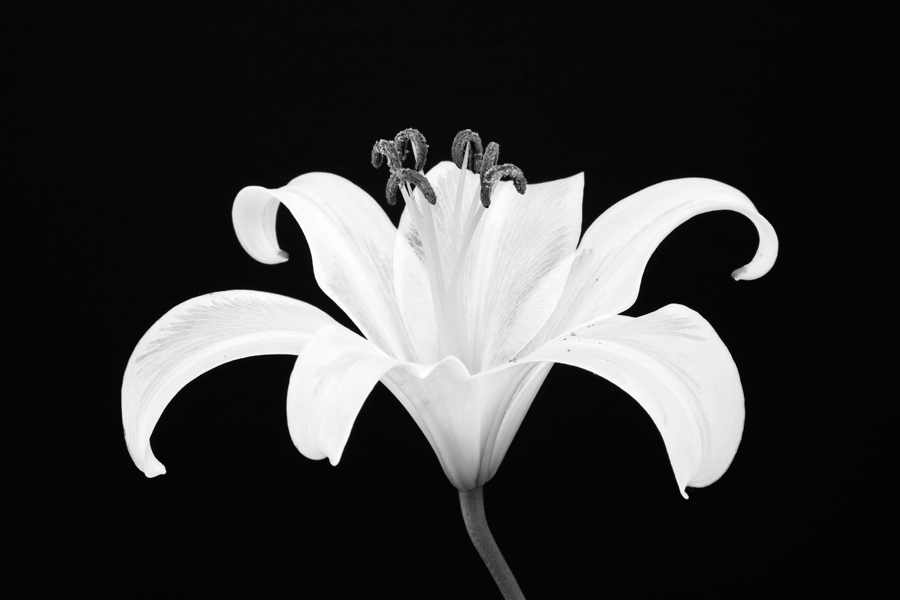 100620-Lillies-07-PS-BW-PN.jpg