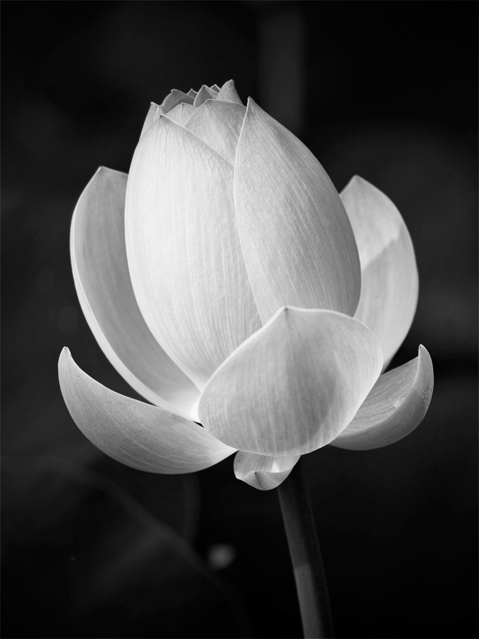 100626-Kenilworth-Flowers-77-PS-BW-PN.jpg