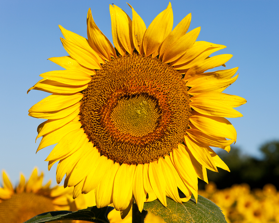 110716-Sunflowers-019-PS-PN.jpg