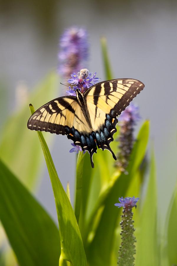100626-Kenilworth-Butterfly-21-PN.jpg
