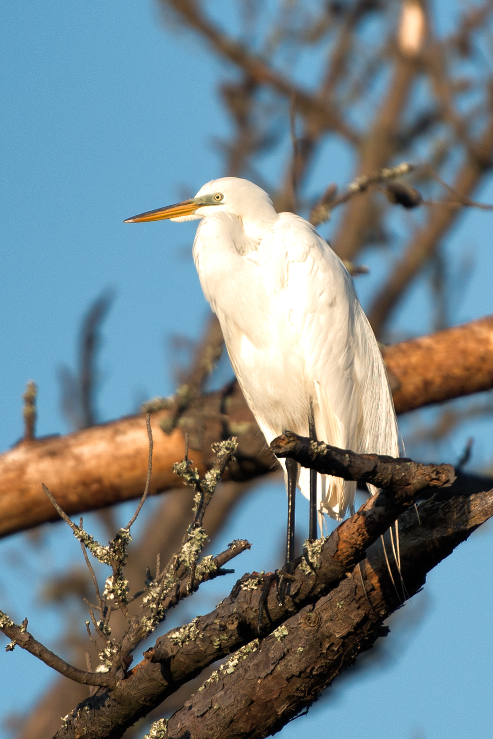 Snowy Egret, Assateague Island