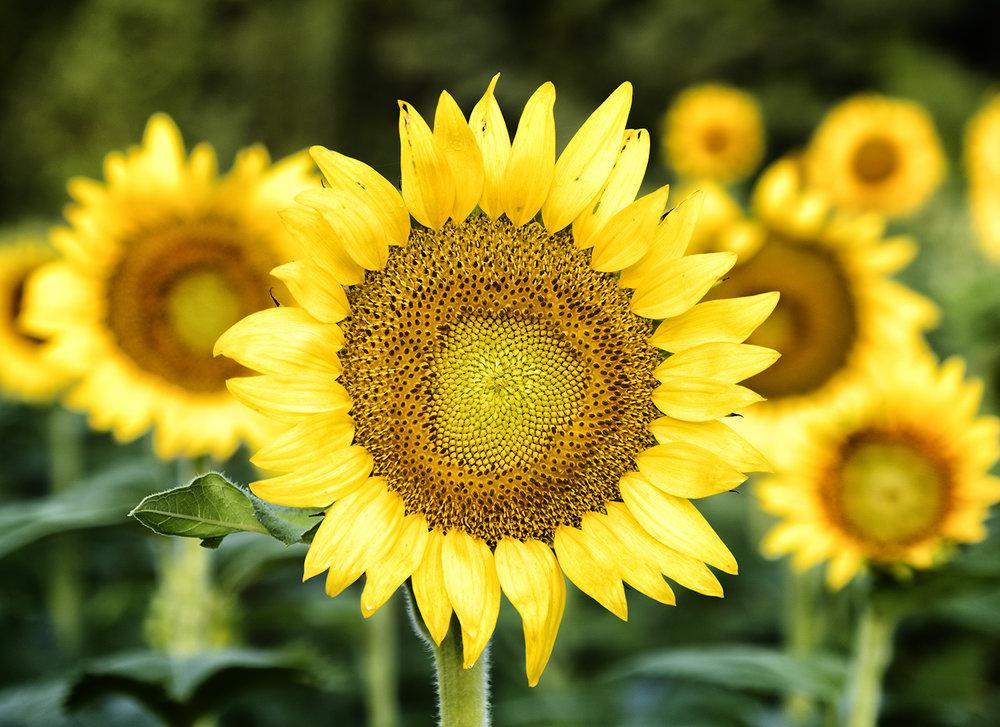 170722 sunflowers 15-1.jpg