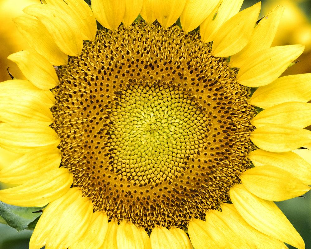 170722 sunflowers 15-1 cr.jpg