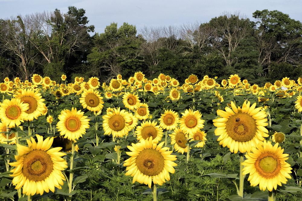 170722 sunflowers 51-1.jpg
