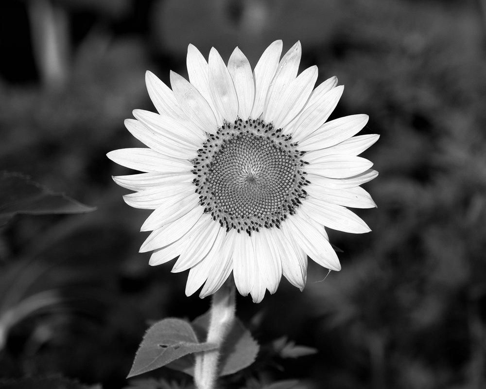 170722 sunflowers 68-1 bw.jpg