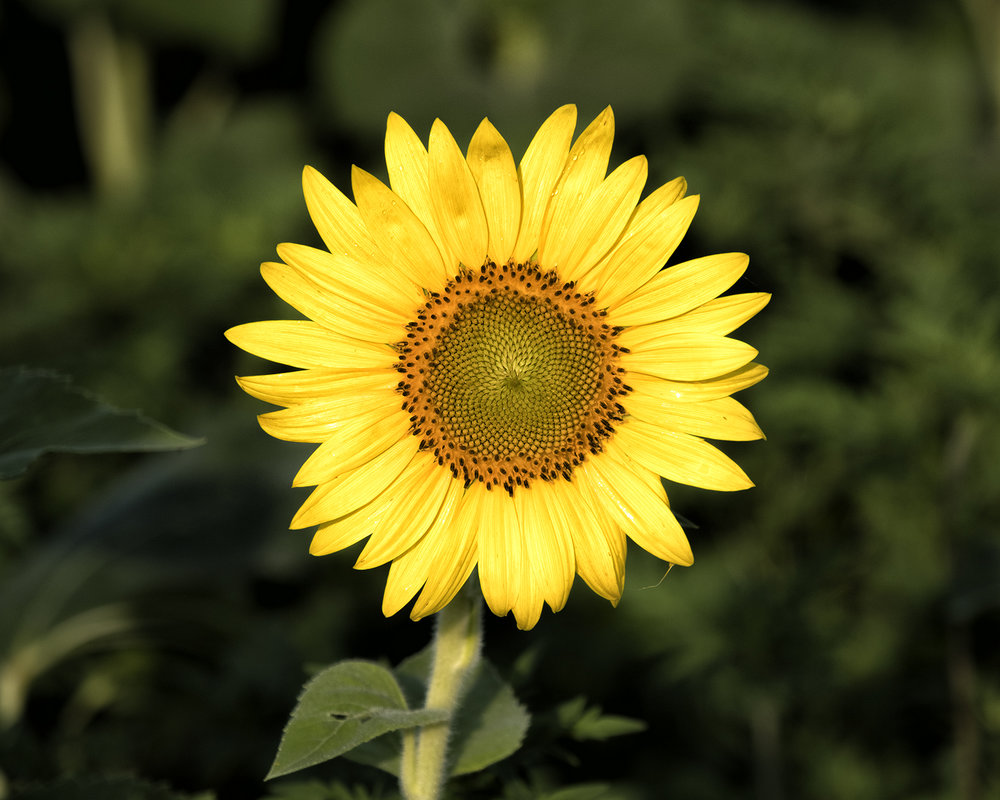 170722 sunflowers 68-1.jpg