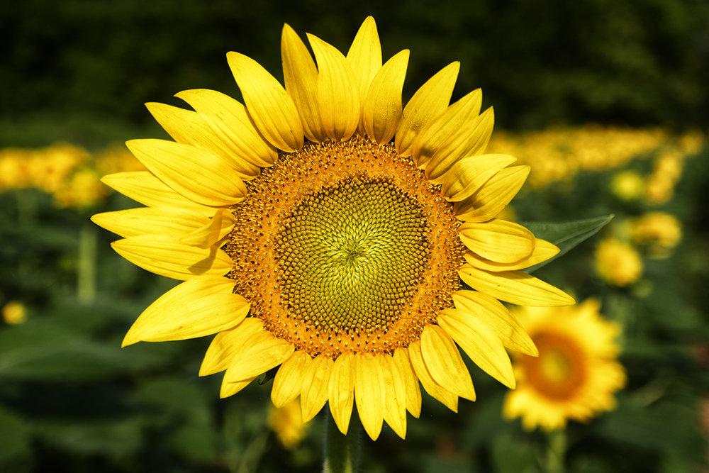 170722 sunflowers 90-1.jpg