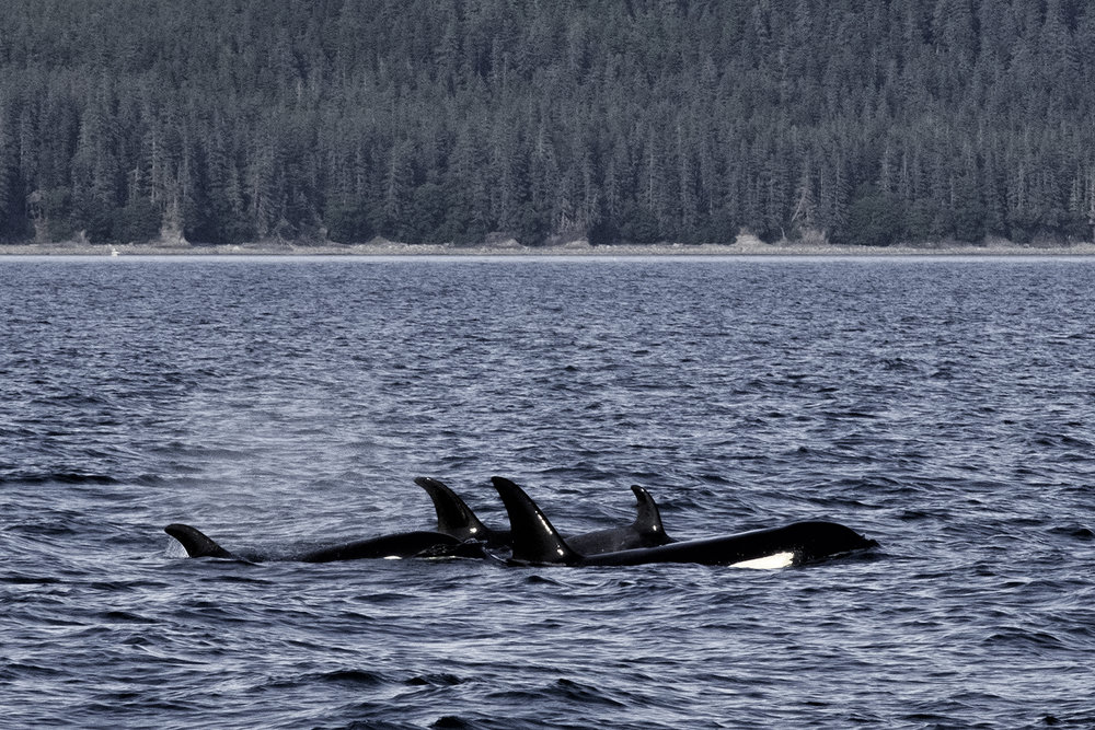 Killer Whales, Juneau, Alaska
