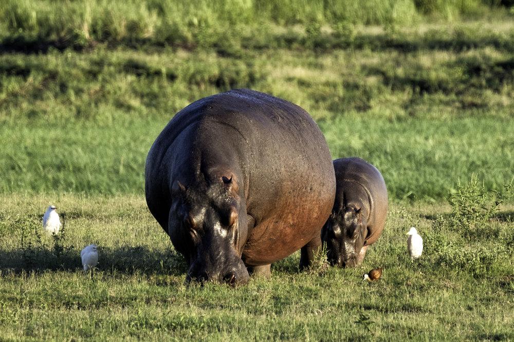 Hippos, Chobe Park, Botswana