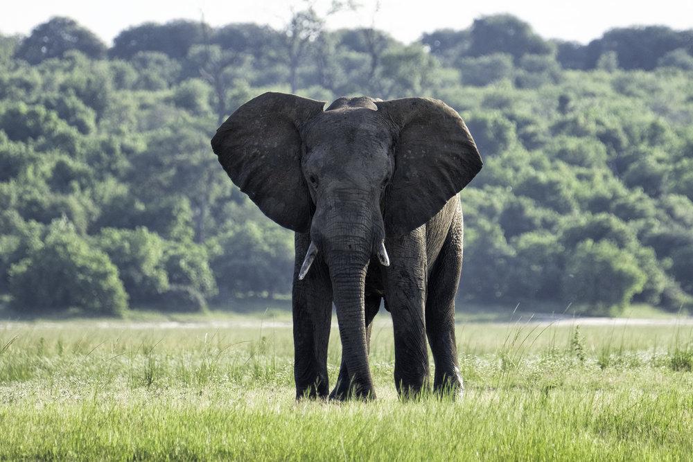 Elephant, Chobe Park, Botswana