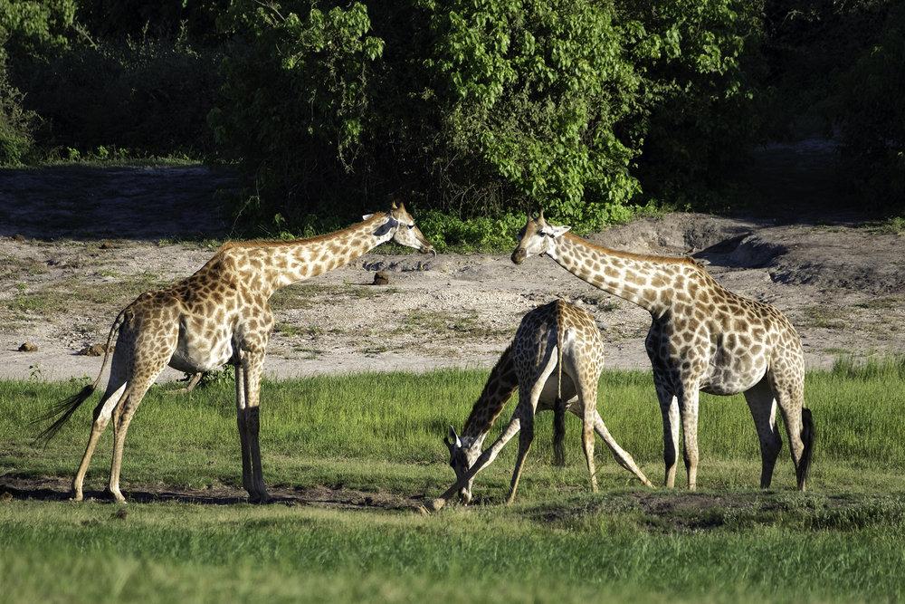 Chobe Park, Botswana, February Morning