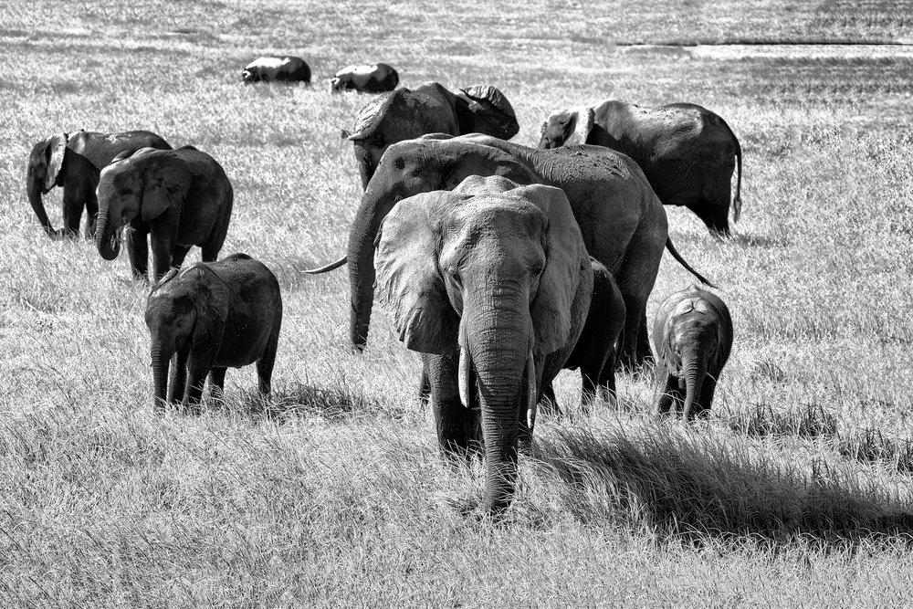 Elephant Family on the move, Chobe Park, Botswana