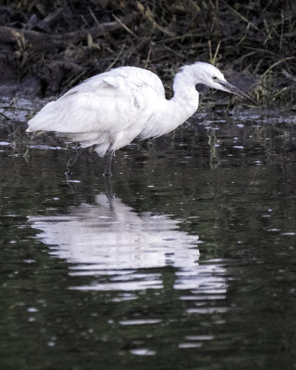 Egret, Chobe Park, February Morning