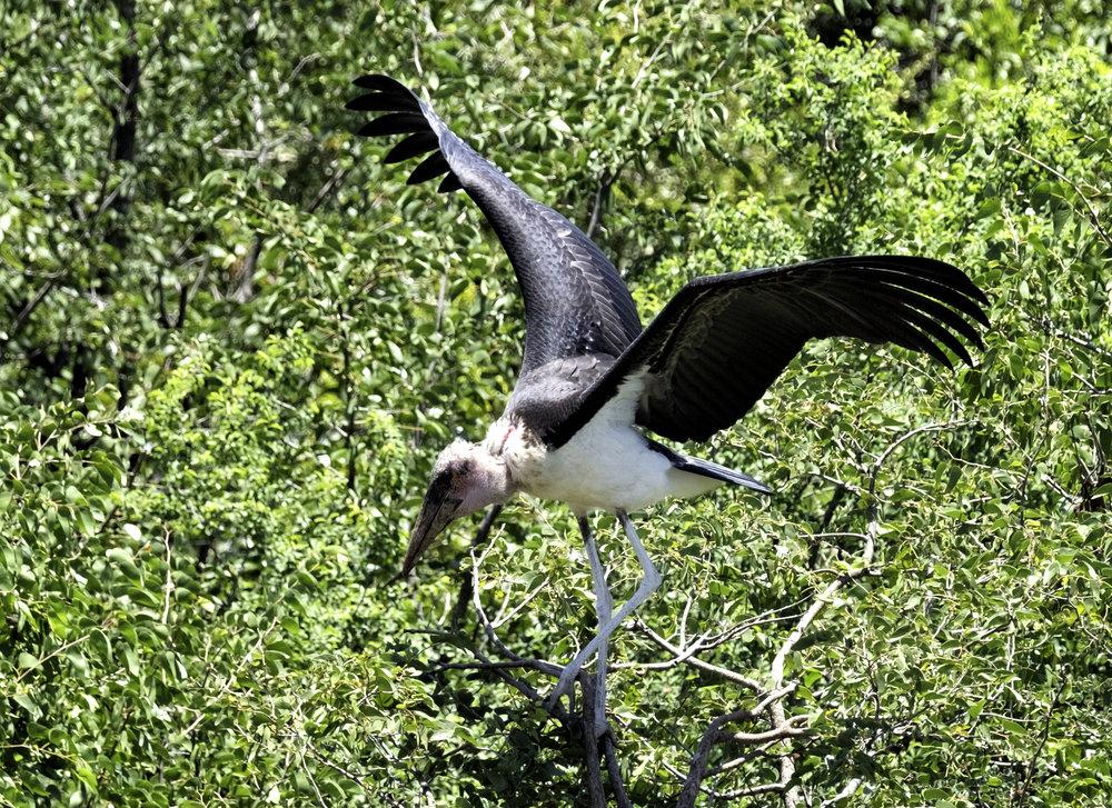 Marabou Stork, Zimbabwe, February Morning