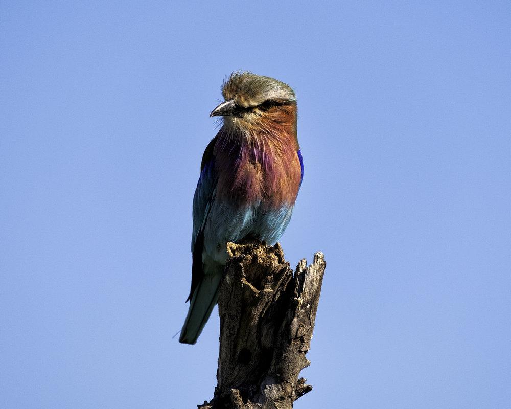 Lilacbreasted Roller, Chobe Park, Botswana