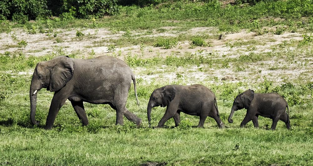 Elephant Family, Chobe Park