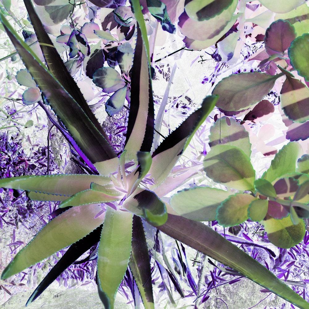 Purple Agave Garden