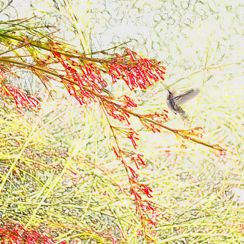 Humming Bird on Firecracker