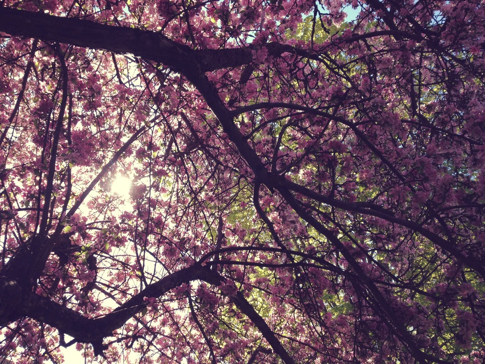 Hanging out under a canopy of cherry blossoms.
