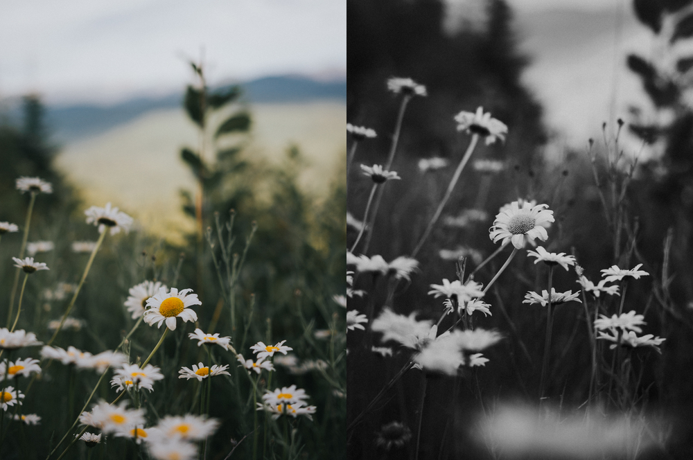 daisies collage.jpg