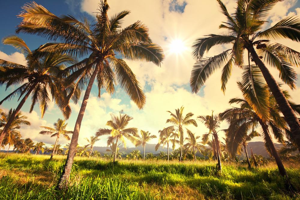 hawaii palm trees.jpg
