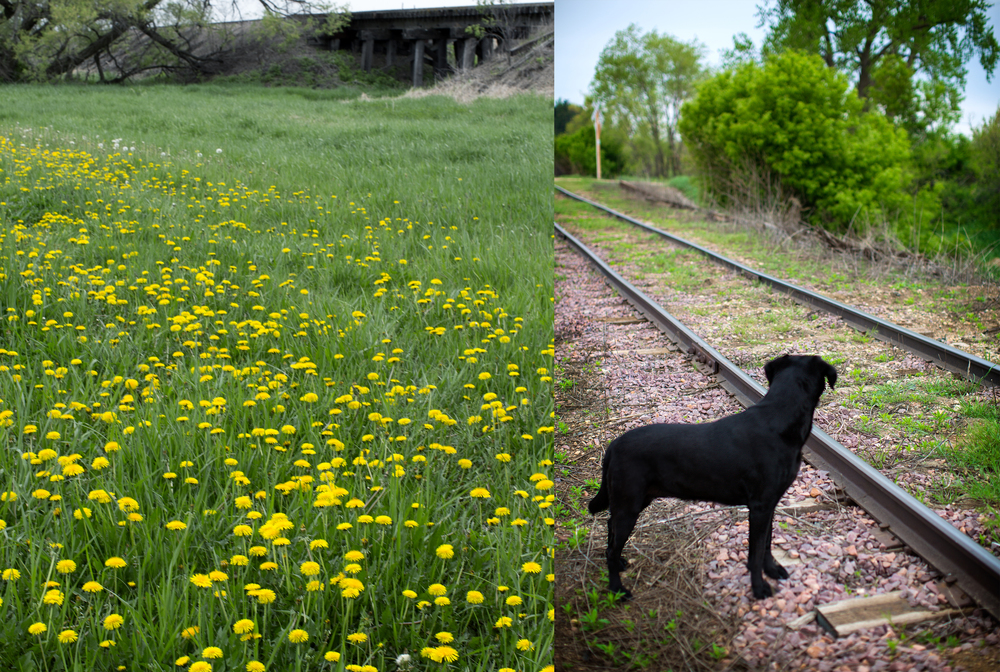"""When I was a kid, we'd go out in the late afternoon warmth before supper, to check around for a bunch of asparagus to bring home. We'd know it was time when the first dandelions were in full bloom. We always brought our dog along, giving us a good excuse to head out for a walk. Our dog instinctively knew what we were looking for and would run ahead, chewing off the tips of the first spears he found.  I don't think he really liked them, but just wanted us to know he knew the goal of the treasure hunt. One of my dad's favorite places to search was along railroad tracks."""