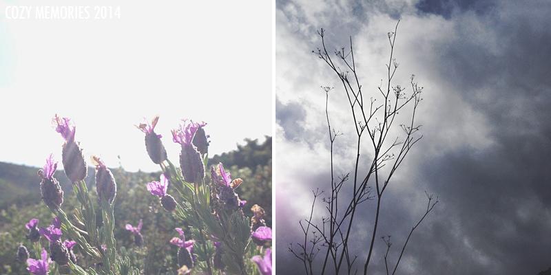 Lavandula stoechas / Last year's fennel
