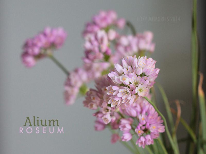 Gorgeous wild pink garlic flowers !