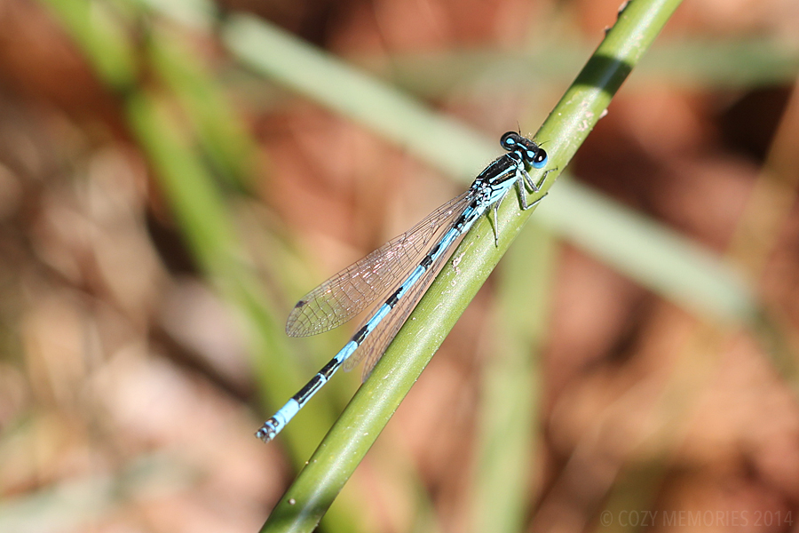 Coenagrion mercuriale / Southern damselfly or Mercury bluet / Agrion de mercure