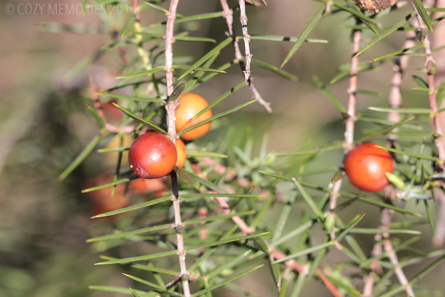 Juniperus oxycedrus (prickly juniper)