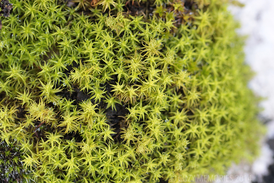 star shaped moss