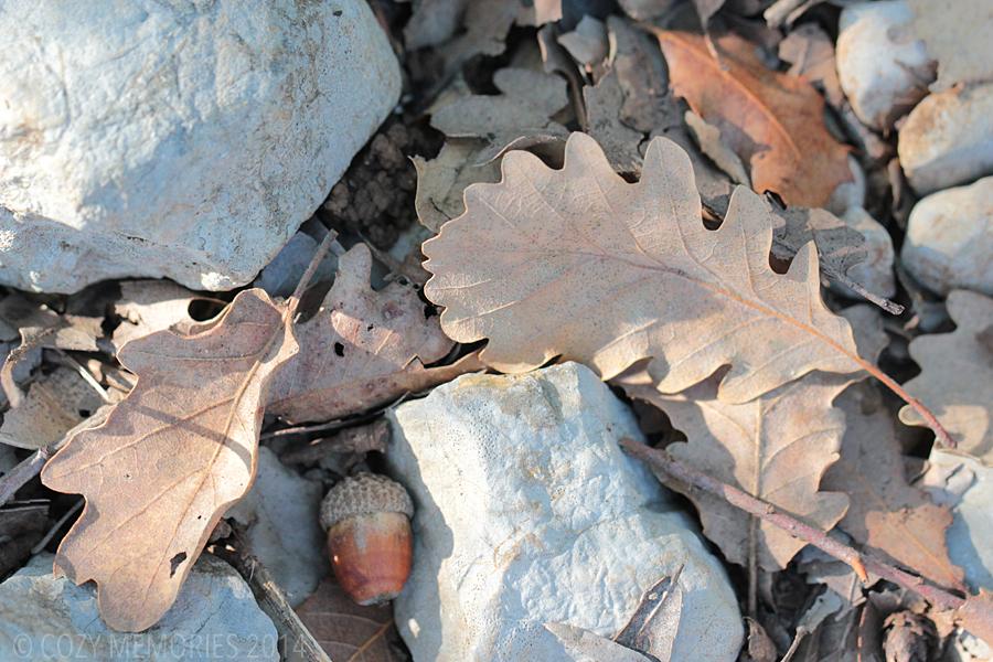 Quercus pubescens (pubescent oak)