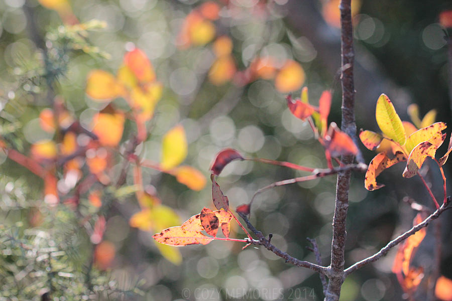 Pistacia terebenthus (Turpentine tree)