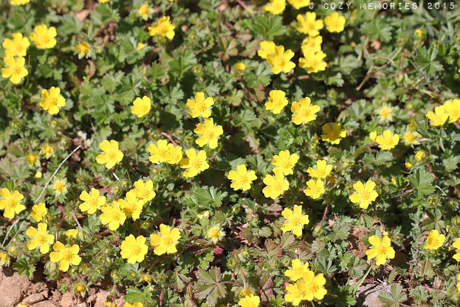 Potentialla reptans / European or creeing cinquefoil / Potentille rampante ou quintefeuille (ou encore Herbe à cinq feuilles ou bien Main de Mars)