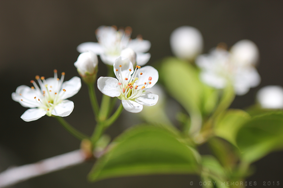 Prunus spinosa / Blackthorn or sloe / Prunellier ou Epine noire