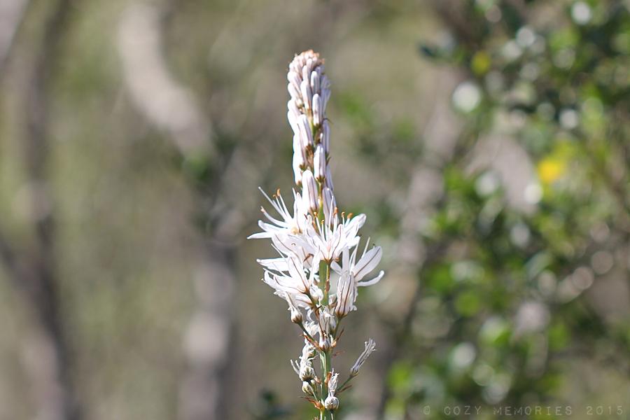 Asphodelus albus / White asphodel / Asphodèle blanc