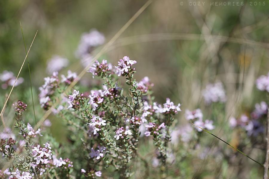 Thymus vulgaris / Common thyme /Thym commun ou Farigoule