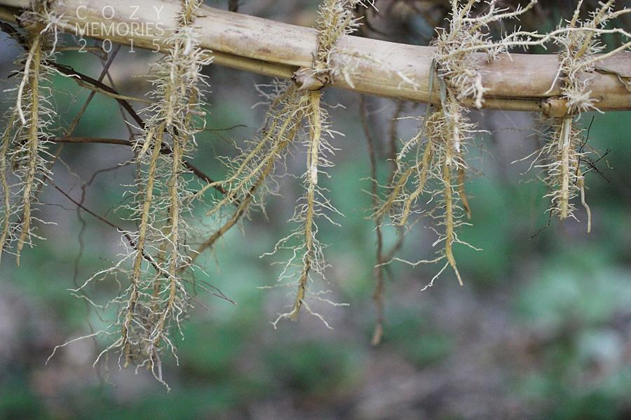 rhizomes (mass of roots)