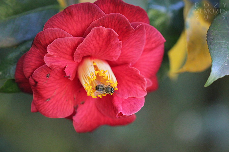 now a red variety of camellia ... and another busy bee !