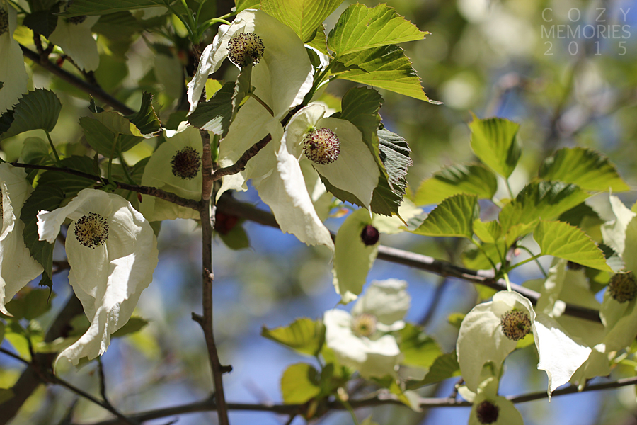 this very special tree is named Davidia involucrata (dove tree or handkerchief tree / arbre aux mouchoirs)