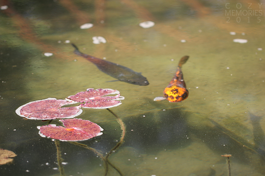 another kind of koi, but sadly with a missing fin