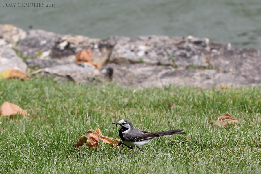 white wagtail (Motacilla alba / bergeronnette grise)