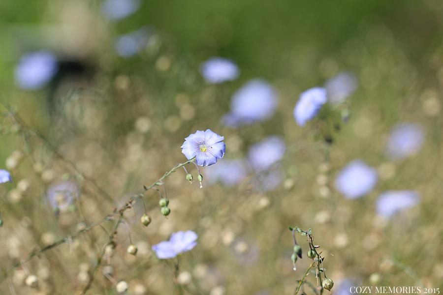 Linum usitatissimum / common flax / lin cultivé
