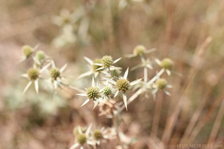 Eryngium campestre / Field eryngo / Panicault champêtre