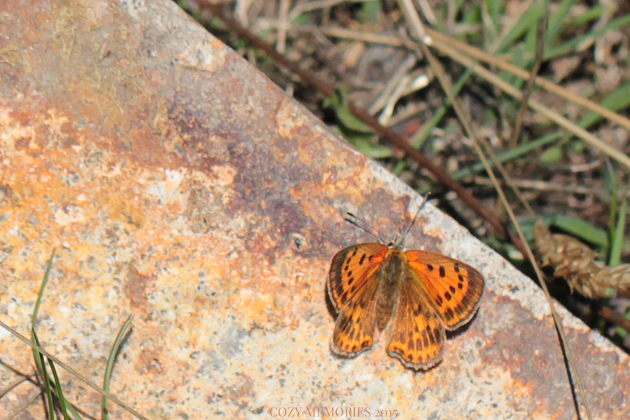 what I think I identified as a Lycaena alciphron / Purple-shot copper / Cuivré mavin