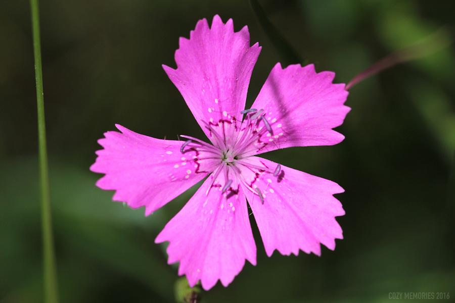 Dianthus sylvestris /   Oeillet des rochers ou oeillet sauvage