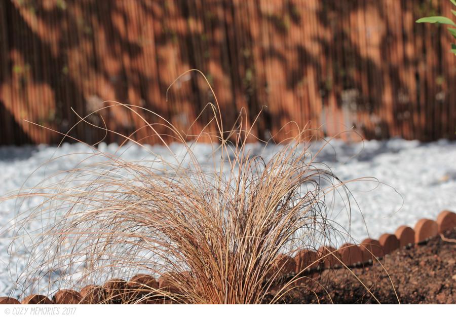 Carex comans   red