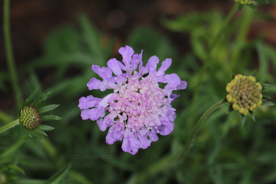 Scabiosa columbaria « butterfly blue »